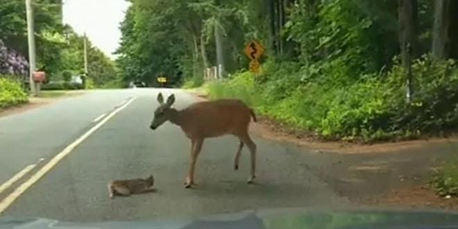 A kis őzgida az út közepén ül és meg sem mozdul