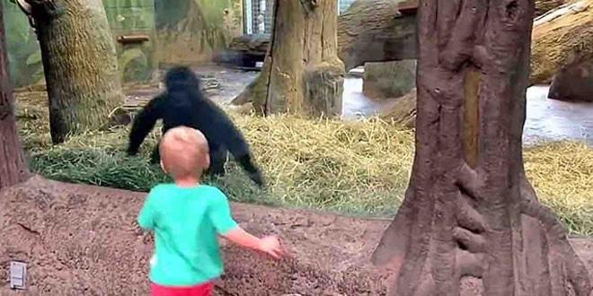 A kis 2 éves visszarohan, hogy megnézze az állatot