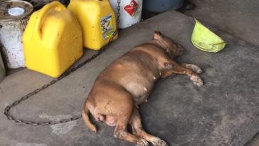 A kutya 8 évig egy falhoz láncolva élt
