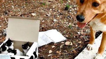 A kutya elhagyott kiscicákat talált egy dobozban