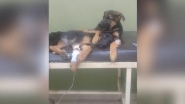 A kutya nem hajlandó magára hagyni a beteg testvérét