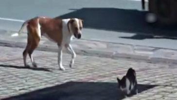 A pitbull sebesült cicát lát és intézkedik