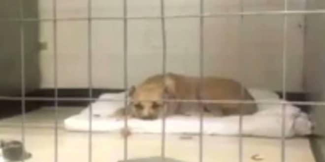 Az depressziós pitbull meg sem mozdul