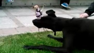 Csivava először találkozik a nagy dán doggal