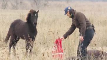 Megszabadítja láncaitól a vad lovat a férfi