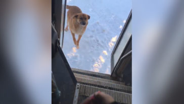 Mindennap külön megáll a buszvezető az éhes kutya kedvéért