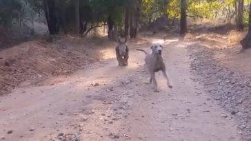 Séta közben a kutyákat hívja vissza