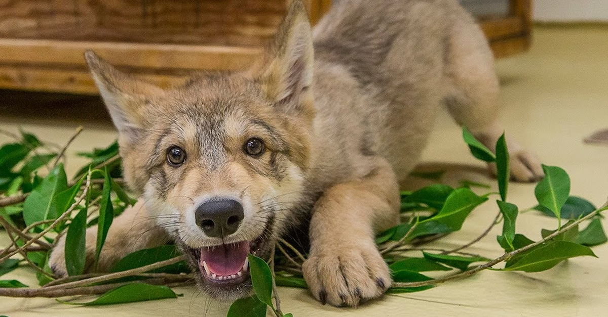 a világ legaranyosabb farkasa