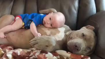anyaként dajkálja a pitbull a kisbabát