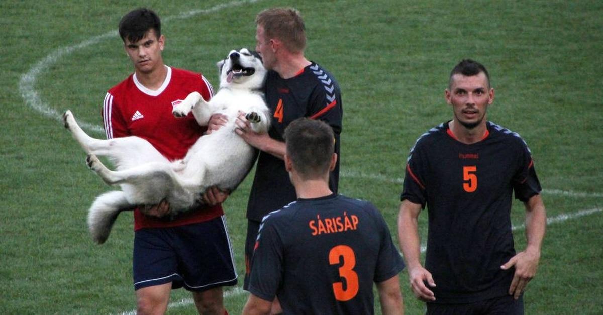 husky beszállt a focimeccsbe