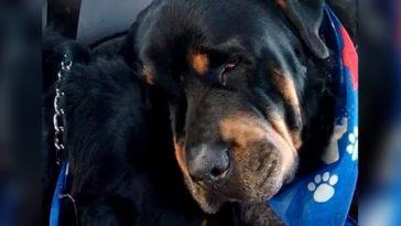 Így gyászolja testvérét egy rottweiler kutya