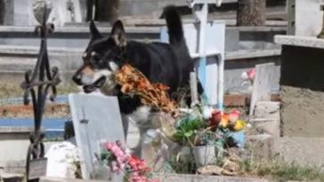 11 éven át őrizte gazdája sírját a hűséges német juhász