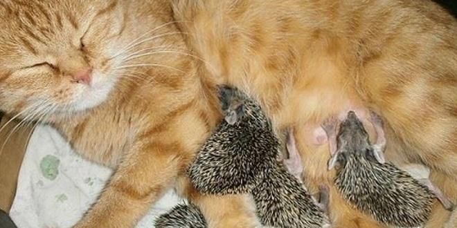 A bébi sünik édesanyja meghalt