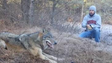 A férfi észrevette, hogy a farkas csapdába esett