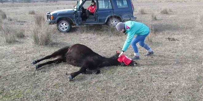 A férfi levágja a ló láncait