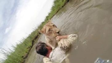 A férfi megmentett két oroszlánkölykök