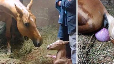 A gazda ott van amikor a lova szülni készül