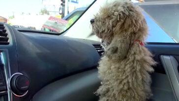A kóbor kutyát betette a kocsijába