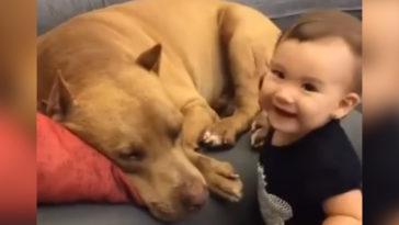 A kisfiú puszit ad az alvó pitbullnak