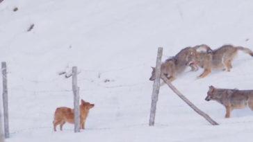 A kiskutyát három éhes farkas akarja levadászni