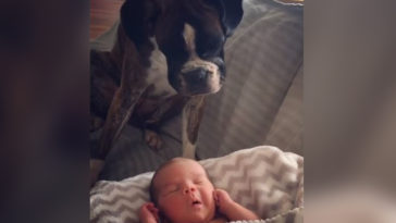 A kutya először találkozik a kisbabával