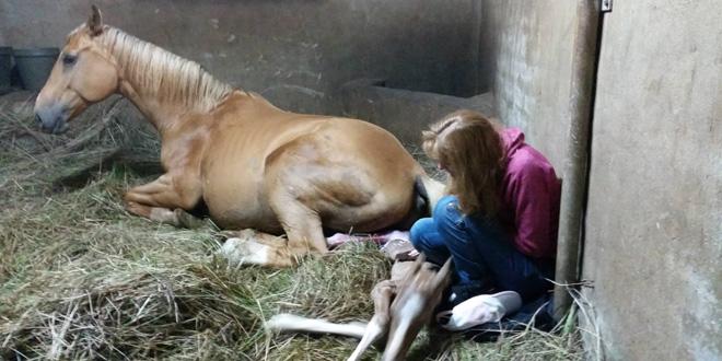 A ló épp világra hozta csikóját