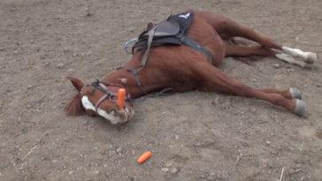 A ló mindig halottnak tetteti magát