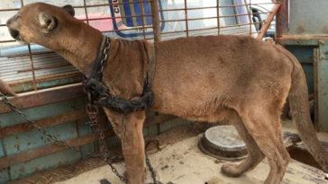 A puma 20 évig egy szűk ketrecben élt