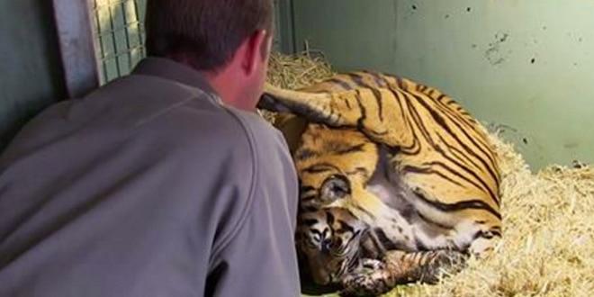 A tigris éppen kicsinyét szoptatja