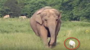 Az elefánt 3 héten át folyamatosan várta a gerincsérült kutyát