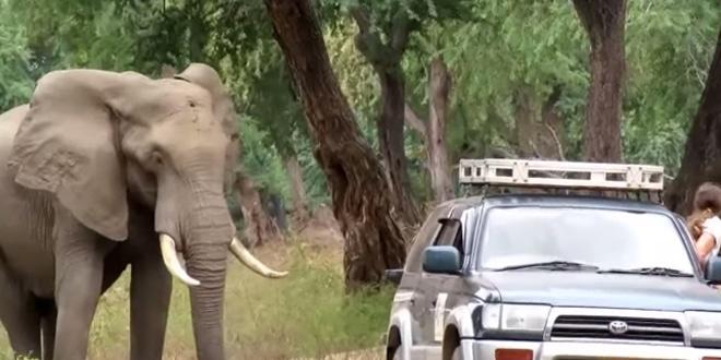 Az elefántot az orvvadászok fejbe lőtték