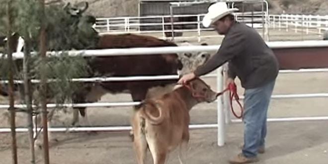 Egész héten át a borja után sírt a tehén
