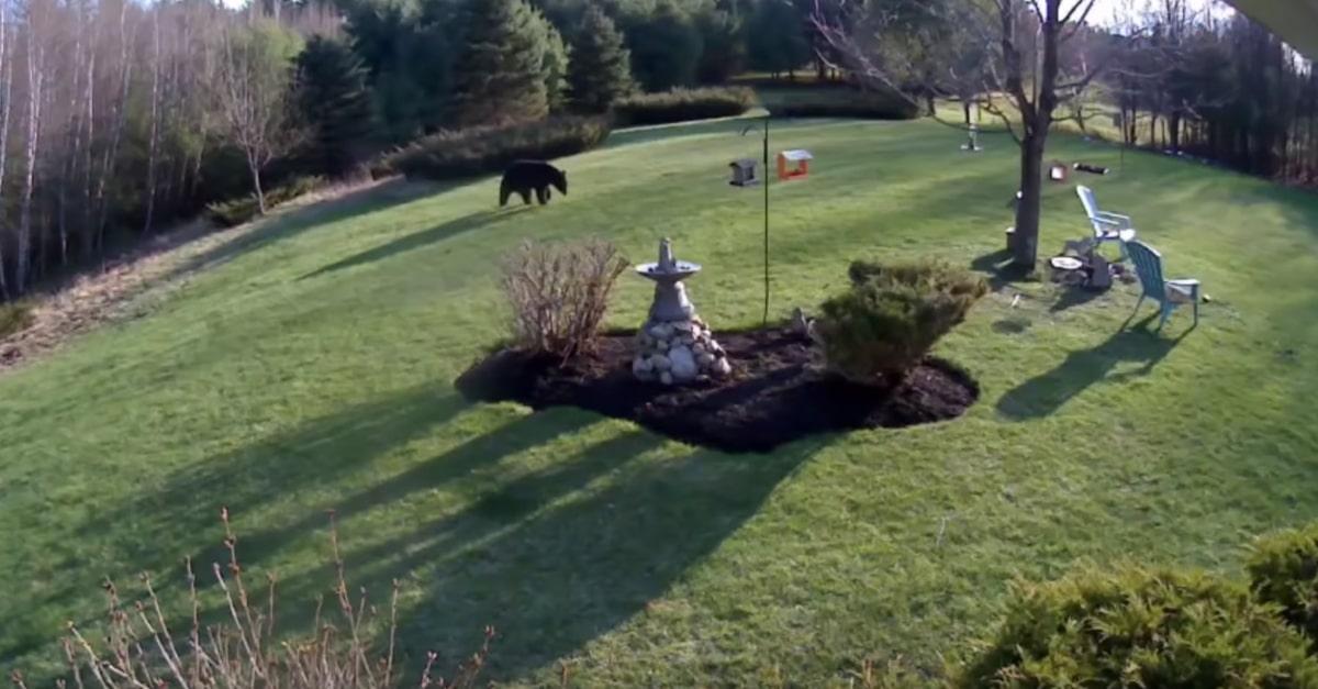 Egy fekete medve tévedt be a család udvarába