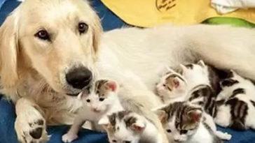 Egy kutya segít a macskának világra hozni kiscicáit