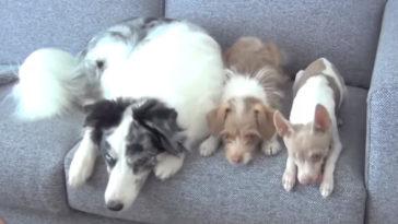 Három kutya fekszik egymás mellett a kanapén