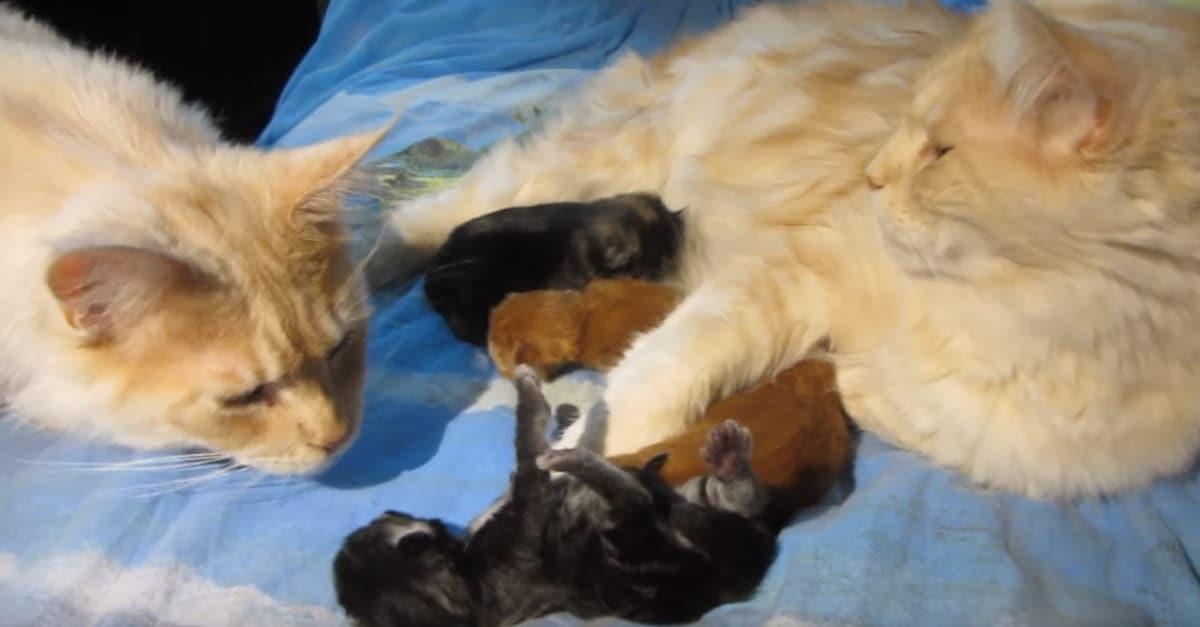 Mama cica gondoskodik újszülött kicsinyeiről