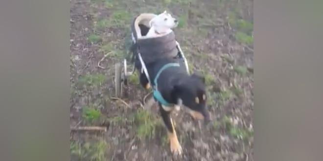 Minden nap sétálni viszi vak barátját a kerekesszékes kutya