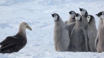 Sírva kérnek segítséget a kis pingvinek