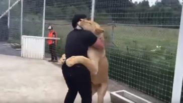 Sok év után az oroszlán és gondozója újra találkoznak