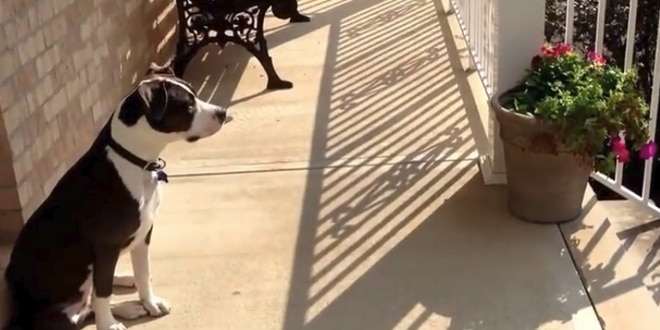 pitbull, aki lelkesen várja haza apró gazdáját az iskolából