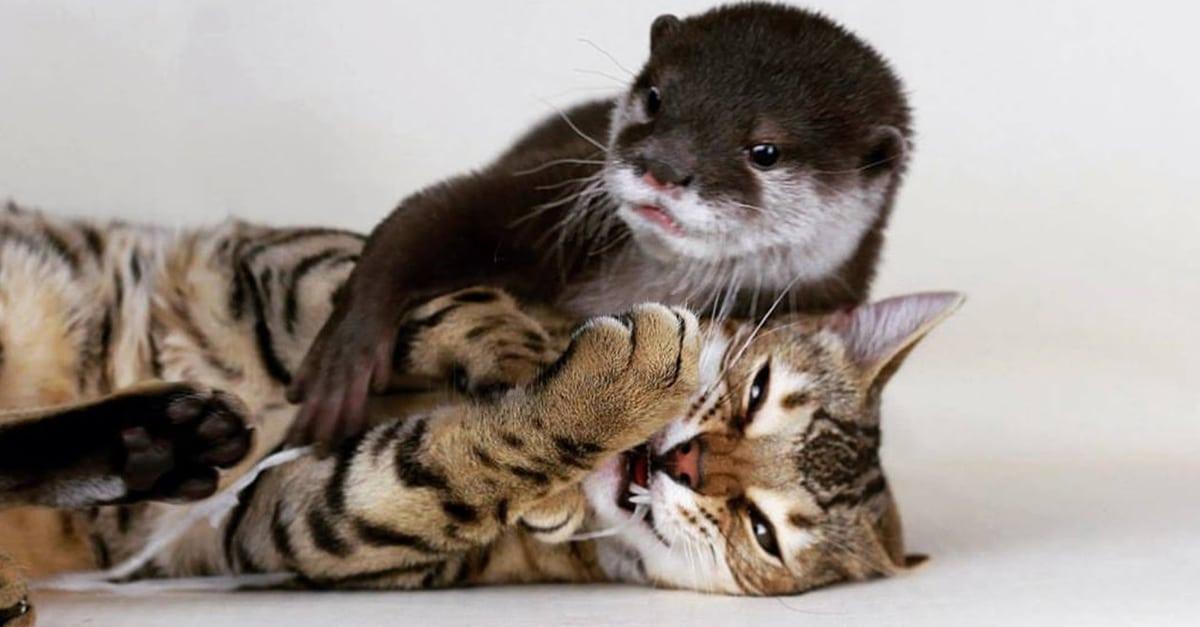 vidra és macska barátság