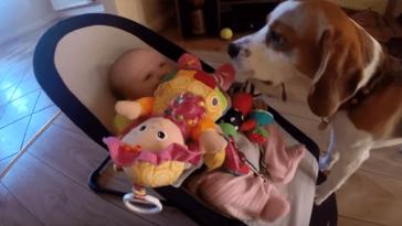Így kér bocsánatot a kutya, amiért elvette a kisbaba játékát
