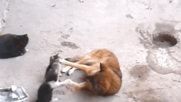Anyacica bemutatja kicsinyeit egy kutyának