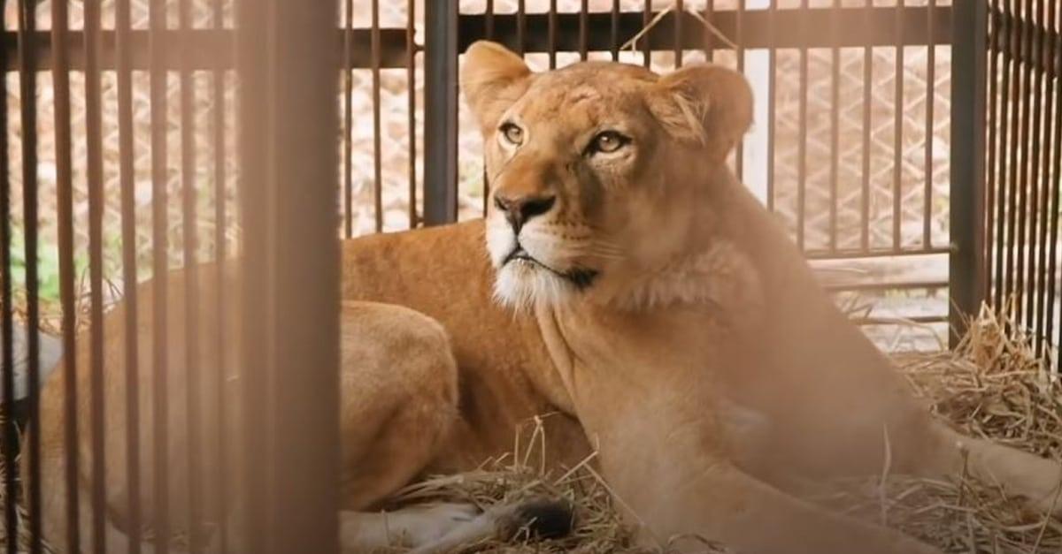 Kétségbeesetten várja vissza a cirkuszi oroszlánanya kölykeit