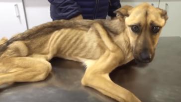Az állatorvos nem hitte, hogy a csontsovány kutya életben maradhat