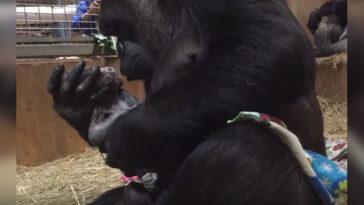 Az anya gorilla világra hozza utódját