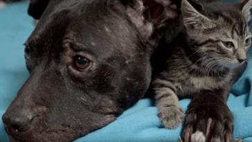 Cicákkal és gyerekekkel barátkozik a kutyaviadalok világából megmentett pitbull