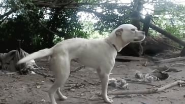 Egész életét rövid láncon töltötte ez a kutya