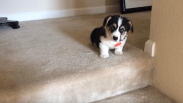 Nagyon aranyosan próbál lépcsőzni ez a 9 hetes kutyus