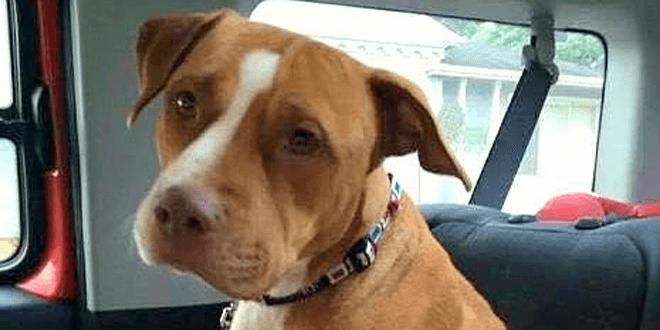 Nem volt hajlandó elhagyni a menhelyet legjobb barátja nélkül az örökbefogadott pitbull